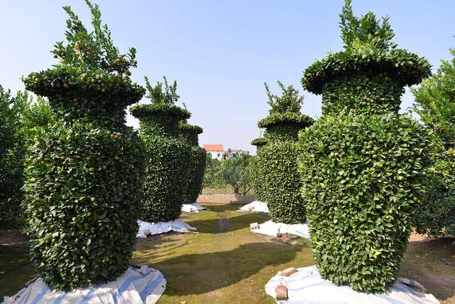 Vườn quýt lục bình chơi Tết cao 3 m