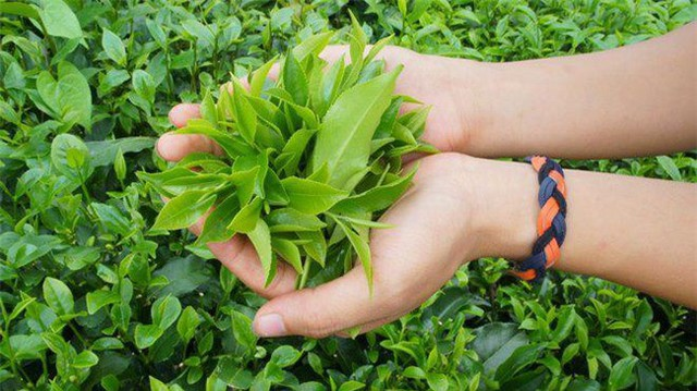 """Liệu trà xanh có thật sự mang đến công dụng giảm cân """"thần tốc"""" như lời đồn?"""
