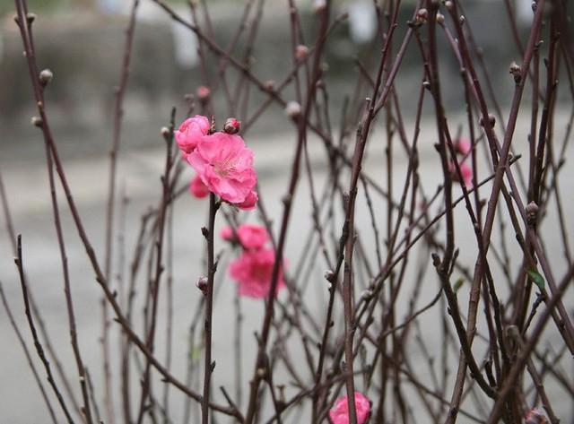 Một vài ngày trở lại đây, đào Nhật Tân bắt đầu cho thu hoạch những cành nở sớm phục vụ thú chơi đào sớm của người Hà Nội. Do năm nay thời tiết nhiều biến động nên số lượng đào sớm ít, kém sắc và ít hoa như mọi năm.