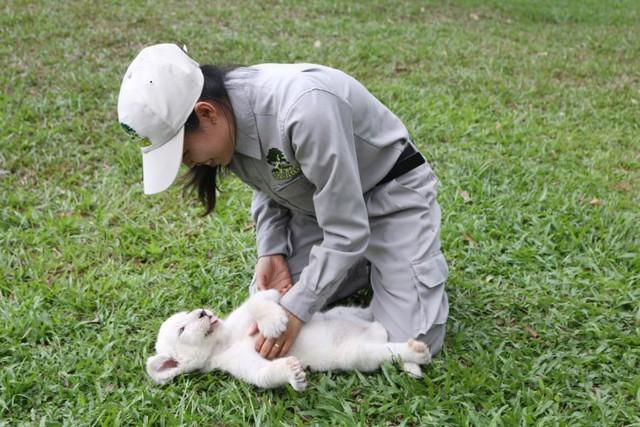 Sư tử trắng thích thú khi được nhân viên Vinpearl Safari đưa đi tắm nắng, chơi đùa