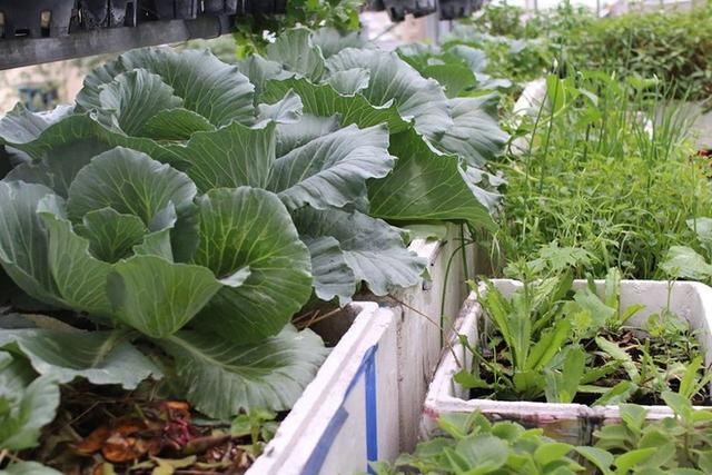 Không chỉ cung cấp rau sạch, vườn còn giúp ngôi nhà 2 tầng ở quận Bình Thạnh của gia đình chị thêm mát hơn nhờ có lớp chống nóng đặc biệt này trên mái.