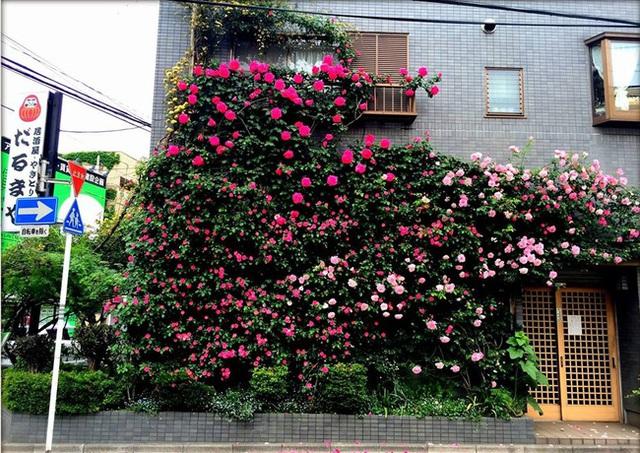 Hồng leo được trồng ngay cạnh bức tường gần vỉa hè.