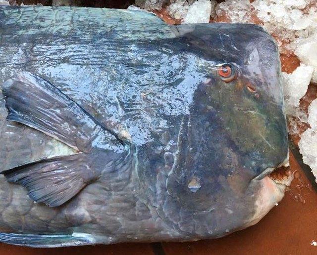 Loại cá này có phần đầu gù lên tạo thành góc vuông khá kỳ dị