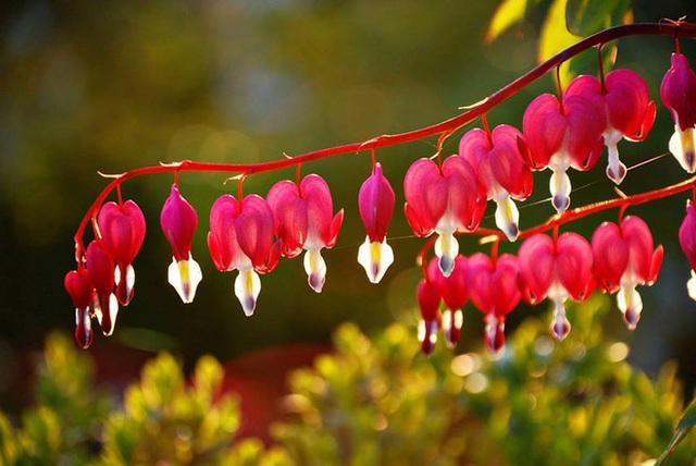 Người ta còn có một câu chuyện truyền thuyết về loài hoa mang vẻ đẹp gây xao xuyến này.