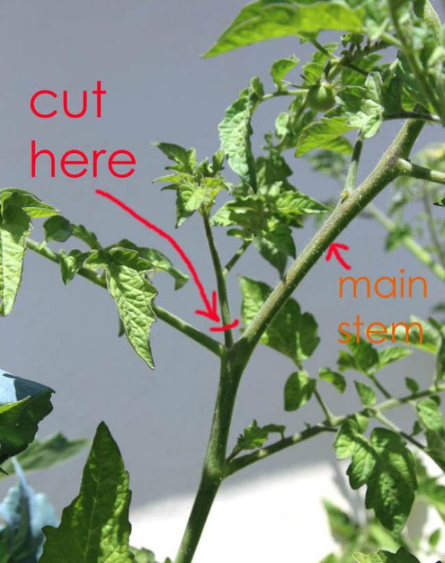 Hãy cắt chồi mọc ra từ nhánh.