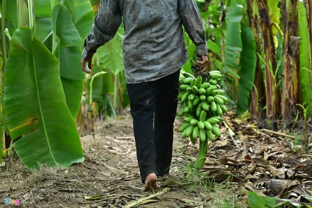 Đây là loại cây từng mang lại giá trị kinh tế cao khi giá bán chuối tiêu từng lên đến hơn 100.000 đồng một buồng, chuối ngự 17.000 đồng một nải, chuối Thái 10.000 đồng/kg.