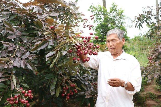 Ông Huy cho biết, cách đây khoảng 17 năm, trong quá trình chăm sóc vườn nhãn long (nhãn trắng) thì bất ngờ phát hiện 1 nhánh nhãn màu tím. Đoán nhãn bị đột biến, ông Huy cắt nhánh nhãn này mang đi trồng và kết quả, cây sinh trưởng và cho trái nhãn màu tím, rất đẹp.