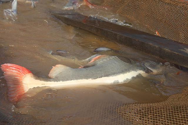 Ông Bon cho biết, cách đây khoảng 7 năm, ông tình cờ thấy những người đánh lưới trên sông Hậu bắt được nhiều loại cá lạ rất đẹp mắt, trong đó có cá Hồng Vỹ nên mua lại rồi đem thả vào bè nuôi chung với loại cá thác lác.
