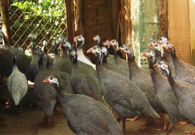 Thịt gà sao ăn rất thơm ngon, khá giống với thịt chim trĩ