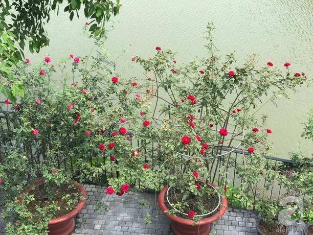Những gốc hồng đỏ thắm một góc sân.