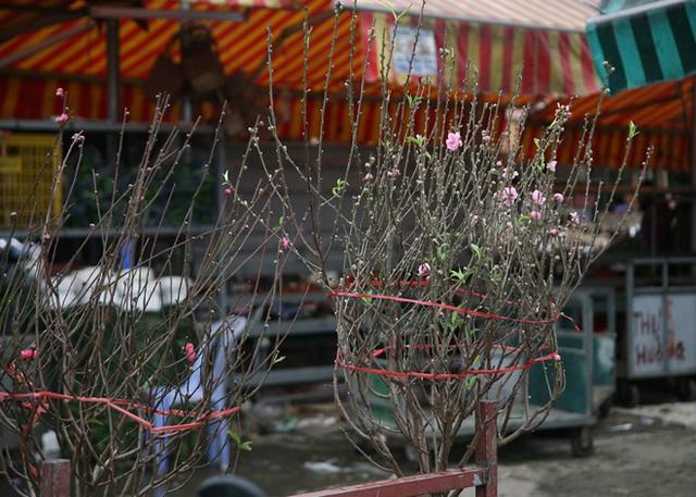 Tại chợ hoa Quảng Bá chỉ vỏn vẹn 3 địa điểm bán đào sớm, mỗi địa điểm chỉ gom được trên dưới 20 cành đào. Theo những người bán hàng cho hay, từ qua đến nay lượng đào sớm tiêu thụ khá nhiều.