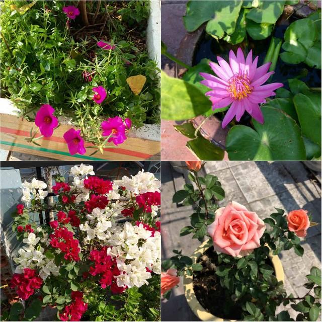 Vườn nhà anh Thuyên còn trồng nhiều loại hoa khác nhau