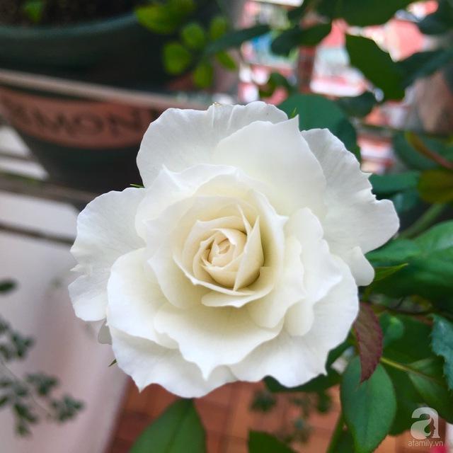Shizuku, một giống hồng Nhật.