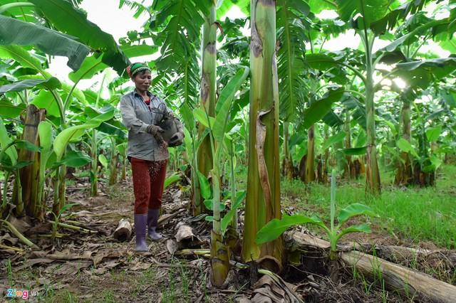 Chị Thảnh (Kim Động, Hưng Yên) cho biết mỗi sào trồng được 80 gốc. Mỗi gốc một năm ra một buồng. Giá một buồng chuối hiện chỉ có 20.000 đồng nên một sào chưa thu về được 2 triệu. Trong khi đó, người nông dân phải bỏ ra rất nhiều chi phí để bón phân, chăm sóc.