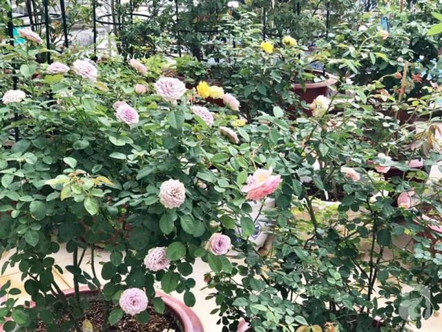 Vườn hồng trên sân thượng chủ yếu được anh trồng từ cây rễ trần.