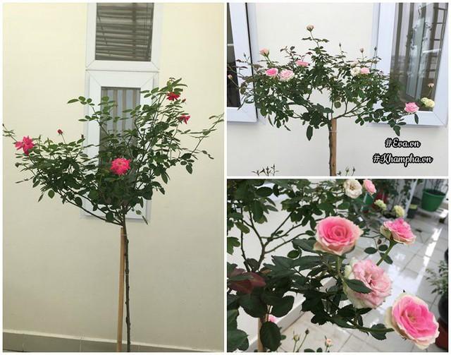 Tree hồng nhung cổ, hồng Mini eden.