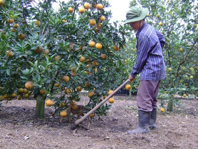 Chăm sóc vườn cam tại trang trại Kỳ Yến, xã Minh Hợp (Quỳ Hợp, Nghệ An). Ảnh: I.T