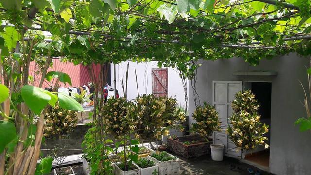 Vườn cây sân thượng 3 tầng: trên cùng là giàn nho, ở giữa là giò lan và dưới sàn sân thượng tôi để thùng xuống trồng rau. Làm vậy có thể có quả sạch, rau sạch ăn và vẫn có thể thưởng lãm cái đẹp từ những giò lan bung nở, anh Khoa chia sẻ.