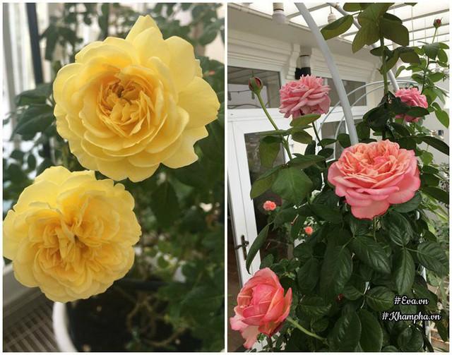 Hoa hồng Golden Globe, Kordes Jubilee.