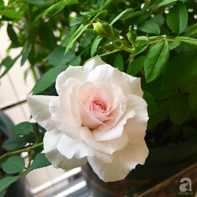 Misaki, một giống hồng Nhật.