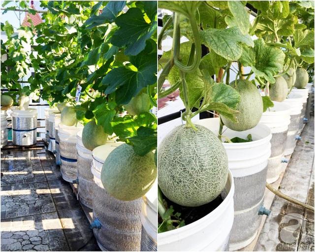 Anh còn tận dụng khoảng sân thượng nhiều nắng để trồng dưa lưới.
