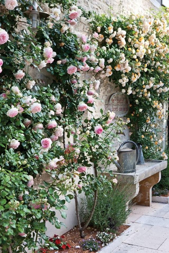 Hoa hồng leo tường tạo điểm nhấn duyên dáng trong vườn.