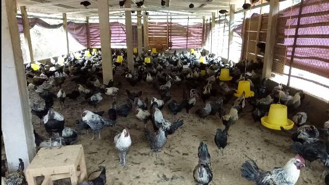 Chuồng trại được đầu tư khá công phu, rộng rãi tạo điều kiện cho đàn gà luôn sống tốt