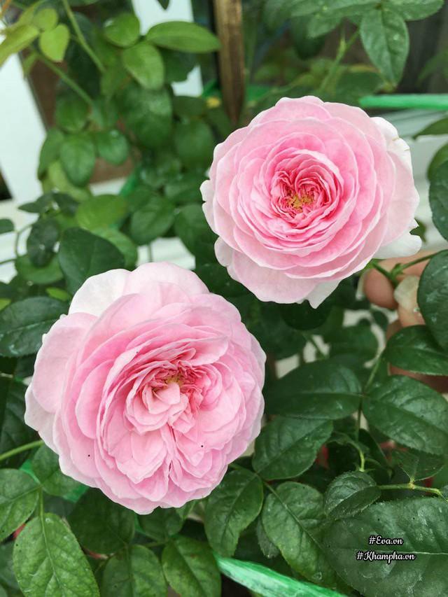 Hoa hồng Mon Coeur.