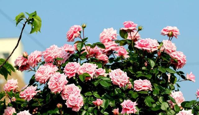 Hoa hồng trồng trong chậu vẫn đẹp rực rỡ và rất sai hoa.
