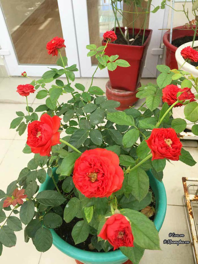 Hoa hồng Francois Rabelais.