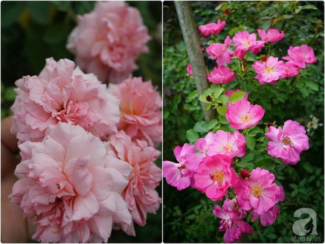 Hồng đẹp mê mẩn trong vườn.