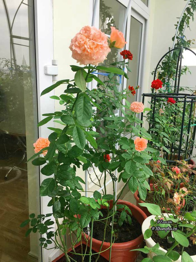 Hoa hồng Corail Gelee.