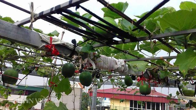 Chia sẻ riêng với Dân Việt, chị Huyền cho hay, với chị thì trồng rau sạch cho nên chỉ sử dụng thảo dược để phun .