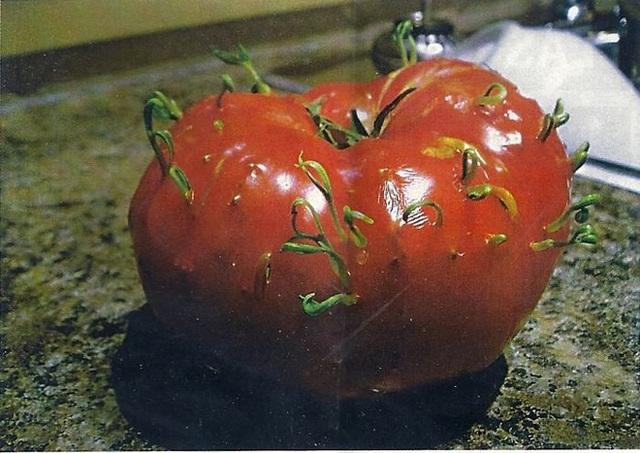 Thôi đợi thêm thời gian nữa để có cà chua ăn.