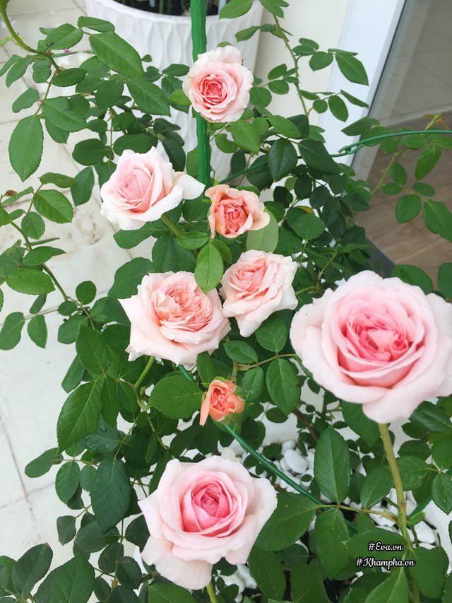 Hoa hồng Shropshire Lad.