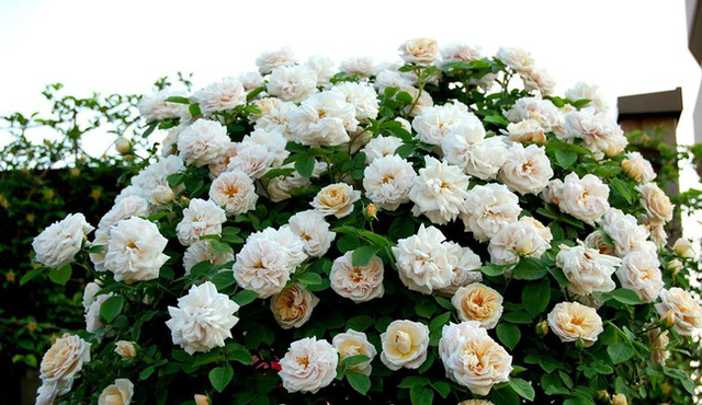 Ngoài giờ học, cô gái dành tất cả thời gian còn lại cho vườn hồng.
