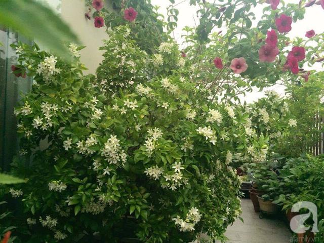 Hoa nguyệt quế nở trắng 1 góc vườn.