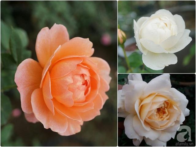 Hoa hồng đẹp duyên dáng.