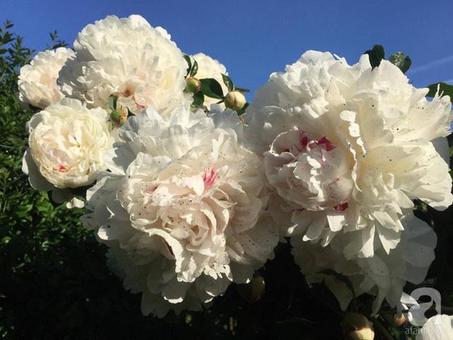 Chùm mẫu đơn trắng đẹp tinh khôi trong vườn.