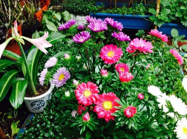 Theo đó, mùa nào khu vườn trên sân thượng của cô Nga cũng tràn ngập các sắc hoa