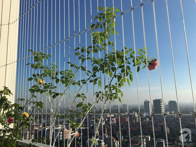 Ban công nhỏ có ưu thế về chiều cao nên chị Hương trồng nhiều hồng leo.