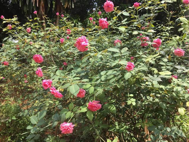 Các gốc hoa hồng đang đua nhau bung nở