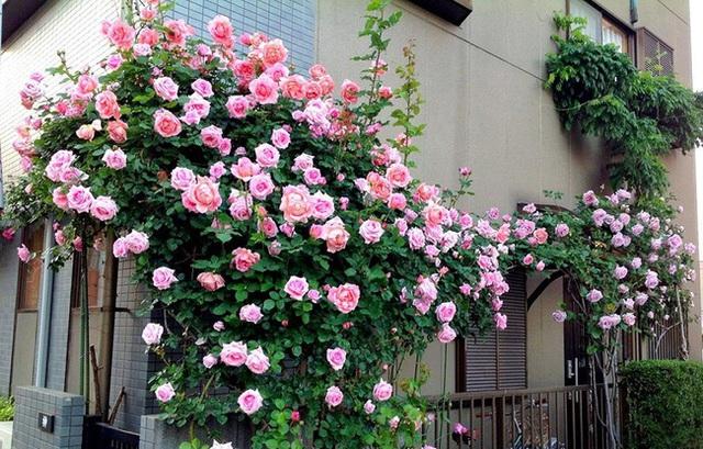 Lối vào nhà hàng cũng được cô gái trồng hồng.