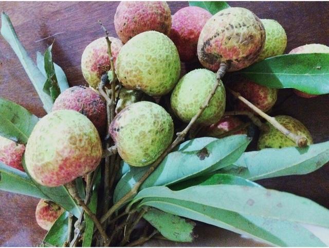 Vải nhiều quả còn nhỏ, xanh và xấu mã nhưng vẫn được thu hoạch để bán