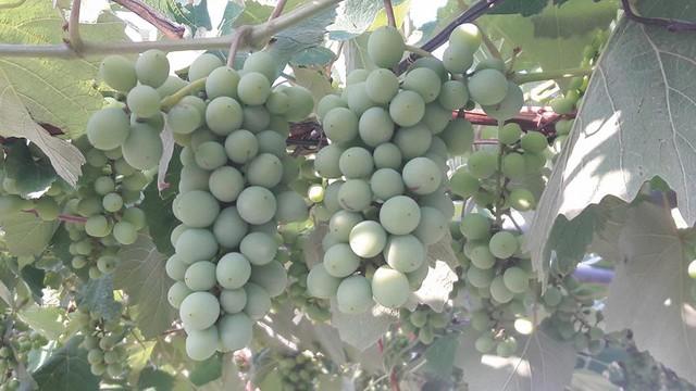 Hiện nho còn xanh và non, nhưng đến khi thu hoạch, một chùm có thể đạt trọng lượng trung bình từ 300-500gram
