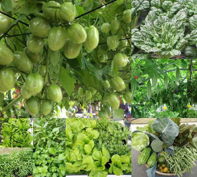 Khu vườn không thiếu loại rau Việt nào của bà mẹ một con ở Đài Loan