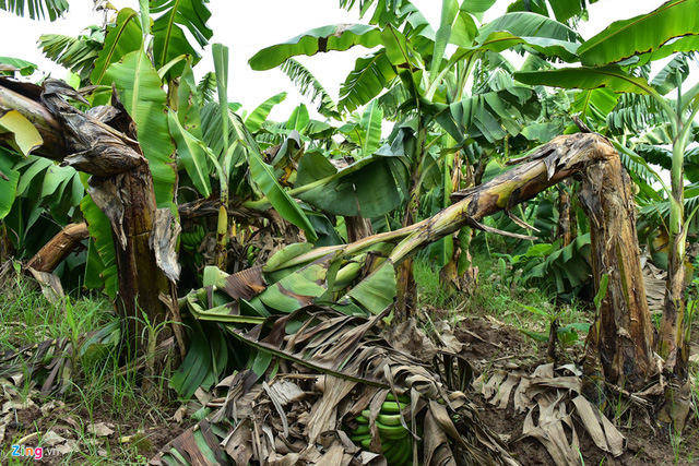 Tuy nhiên, cơn bão vào tháng 7 đã làm quật đổ 200 ha chuối (tính riêng ở huyện Khoái Châu). Người dân mới chăm sóc những chồi mới lên thì những cơn gió bão của mùa hè năm nay lại làm cho chúng đổ tiếp.