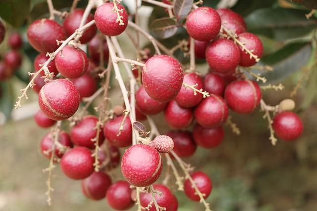 """Biết """"trời ban cho"""" giống nhãn quý, ông Bảy Huy liền chiết ra nhiều nhánh đem trồng quanh nhà. Năm 2012, ông Huy mang loại nhãn tím quý hiếm của mình đi trưng bày tại """"Lễ hội sông nước miệt vườn"""" diễn ra ở Sóc Trăng khiến nhiều người rất thích thú."""