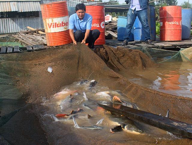 """Qua nhiều năm """"sưu tầm"""", ông sở hữu gần 20 con cá Hồng Vỹ. Mỗi con nặng gần 20kg."""