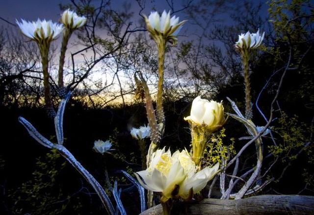 Những bông hoa của loài xương rồng khế tại vườn thực vật Tohono Chul.